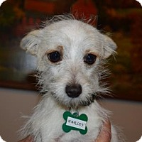 Cairn Terrier Mix Dog for adoption in Seattle, Washington - Harley Bell