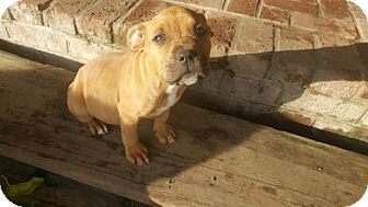 Boxer/American Staffordshire Terrier Mix Puppy for adoption in Los Banos, California - Gingersnap