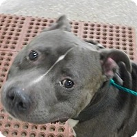 Adopt A Pet :: Hulk - Saginaw, MI