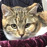 Adopt A Pet :: Flirt - Morganville, NJ