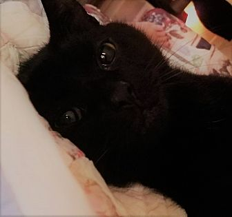 Bombay Cat for adoption in Saint Albans, West Virginia - Cole
