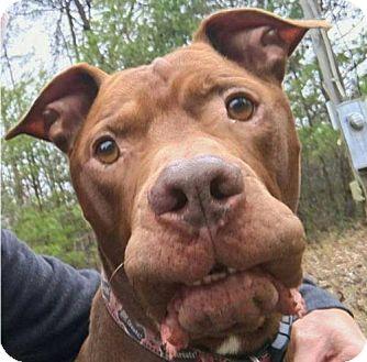 Pit Bull Terrier/Bullmastiff Mix Dog for adoption in Asheville, North Carolina - Spud