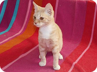 Domestic Shorthair Kitten for adoption in Scottsdale, Arizona - Mr. Ginger