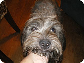 Bearded Collie/Terrier (Unknown Type, Medium) Mix Dog for adoption in Apex, North Carolina - Magic
