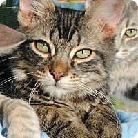 Adopt A Pet :: Tabby & Cute - Palmdale, CA