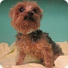 Adopt A Pet :: Bentley-5lbs!