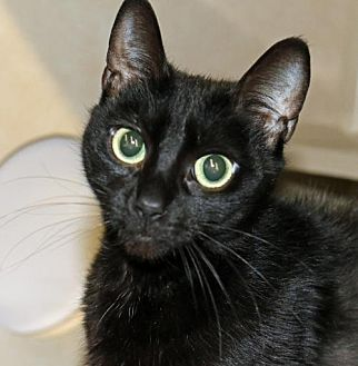 Domestic Shorthair Cat for adoption in Asheville, North Carolina - Charlie Fox