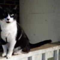 Domestic Shorthair Cat for adoption in Wakinsville, Georgia - Leroy aka Kudzu