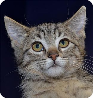 Domestic Shorthair Cat for adoption in Lenexa, Kansas - Liberty