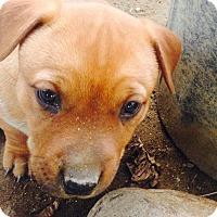 Australian Shepherd/Cattle Dog Mix Puppy for adoption in Bakersfield, California - Rita