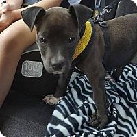 Adopt A Pet :: Tillie - Brattleboro, VT