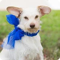 Westie, West Highland White Terrier Mix Dog for adoption in Santa Fe, Texas - Yoda