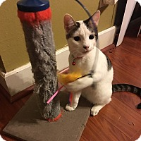 Domestic Shorthair Cat for adoption in Houston, Texas - Niles