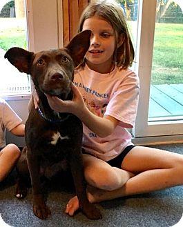 Labrador Retriever Mix Dog for adoption in GREENLAWN, New York - Velvet