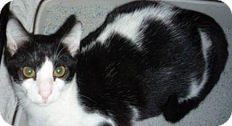 Bengal Kitten for adoption in Dallas, Texas - Spunky
