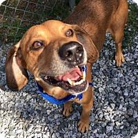 Hound (Unknown Type) Mix Dog for adoption in Greensboro, North Carolina - Ziggy