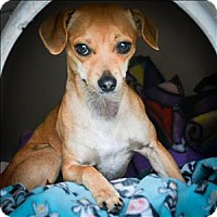Dachshund/Terrier (Unknown Type, Medium) Mix Dog for adoption in Vallejo, California - Alexis