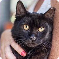 Adopt A Pet :: Noir - St Helena, CA