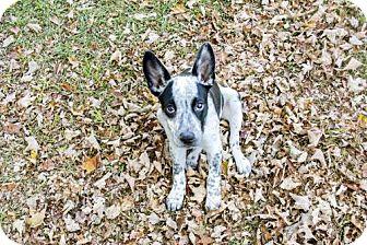 Cattle Dog Mix Puppy for adoption in Alpharetta, Georgia - Ramzie