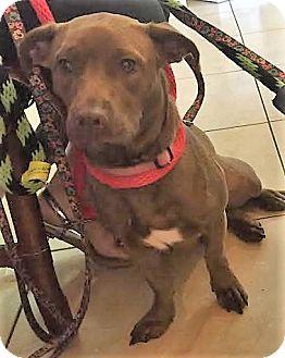 Dachshund Mix Dog for adoption in Ft. Lauderdale, Florida - Abi
