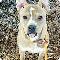 Boxer Mix Puppy for adoption in Arlington, Massachusetts - Buffy (URGENT)