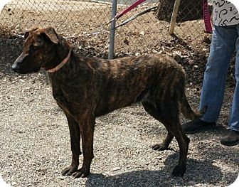Greyhound/German Shepherd Dog Mix Dog for adoption in Yucaipa, California - Nitro