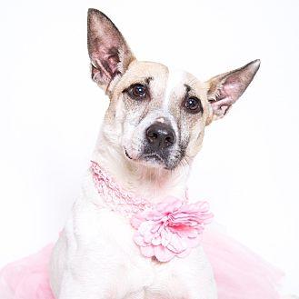 Shepherd (Unknown Type)/Pit Bull Terrier Mix Dog for adoption in Stockton, California - Helen