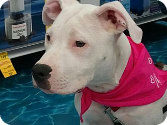 American Pit Bull Terrier Mix Dog for adoption in Calumet City, Illinois - Bam Bam