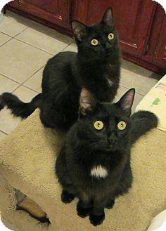 Domestic Longhair Cat for adoption in Long Beach, California - Ashton