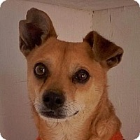 Chihuahua Mix Dog for adoption in Las Cruces, New Mexico - Mickey