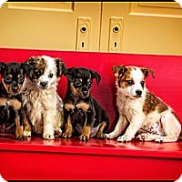 Adopt A Pet :: Puppies! - Owensboro, KY