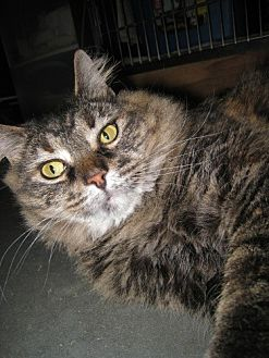 Domestic Mediumhair Cat for adoption in Capshaw, Alabama - Loretta