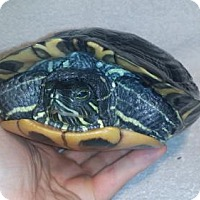 Turtle - Other for adoption in Markham, Ontario - Tofu