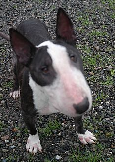 Bull Terrier Dog for adoption in San Pablo, California - BENJAMIN