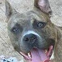 Pit Bull Terrier Dog for adoption in Oklahoma City, Oklahoma - Layla