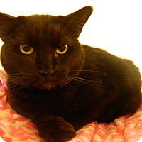 Domestic Shorthair Cat for adoption in Jupiter, Florida - Brandy
