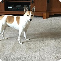 Adopt A Pet :: Courtesy Listing: Joey (JRT) - Fairfield, OH