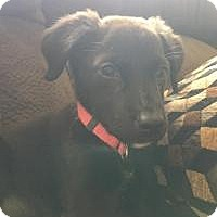 Adopt A Pet :: Baby girl Storm - Marlton, NJ