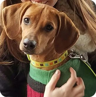 Vizsla Mix Puppy for adoption in Parker Ford, Pennsylvania - Peony