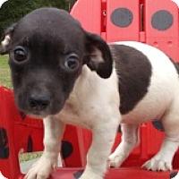Dachshund Mix Puppy for adoption in Glenwood, Georgia - Paige