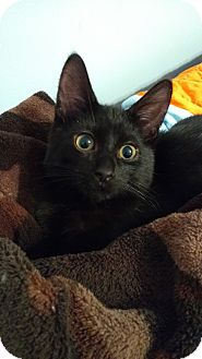 Domestic Shorthair Kitten for adoption in Ortonville, Michigan - Donatello