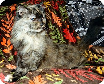 Domestic Longhair Cat for adoption in St. Charles, Missouri - Paprika