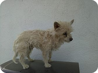 Cairn Terrier Mix Dog for adoption in Lancaster, California - Donald