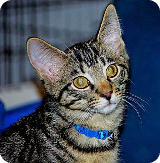 Domestic Shorthair Kitten for adoption in Noblesville, Indiana - Meowth