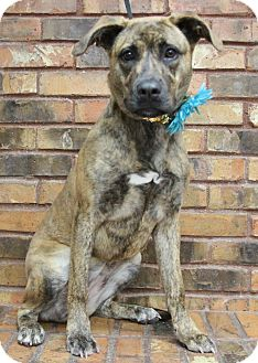 Dutch Shepherd Mix Dog for adoption in Benbrook, Texas - Callie