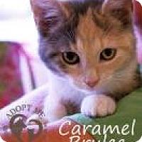 Adopt A Pet :: Caramel Brulee - Newport, KY