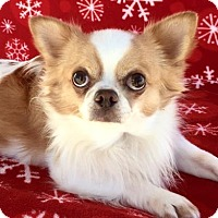 Chihuahua Dog for adoption in Picayune, Mississippi - COURTESY POST- Fonzi