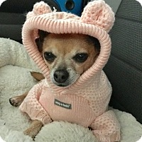 Adopt A Pet :: CandyCane - Las Vegas, NV