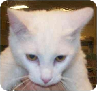 Domestic Shorthair Cat for adoption in Annapolis, Maryland - Clancy