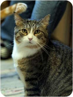 Domestic Mediumhair Cat for adoption in Roseville, Minnesota - Oscar